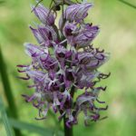 cordes sur ciel plantes médicinales bio tarn orchidées sauvages