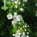 cordes sur ciel plantes médicinales bio tarn aubépine
