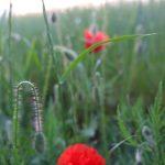 plantes medicinales bio tarn coquelicot