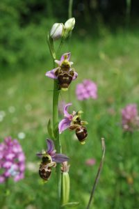 cordes sur ciel plantes médicinales bio tarn orchys abeille