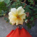 cordes sur ciel plantes médicinales bio tarn roses
