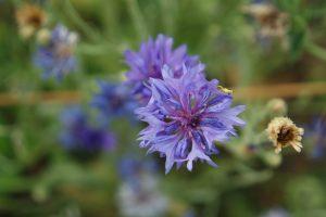 cordes sur ciel plantes médicinales bio tarn bleuet