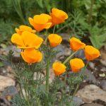 plantes medicinales bio tarn escholtzia pavot californie dormir