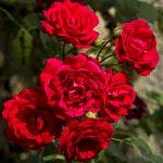 roses plantes medicinales bio tarn