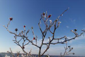 cordes sur ciel plantes médicinales bio tarn cynorhodon gelés
