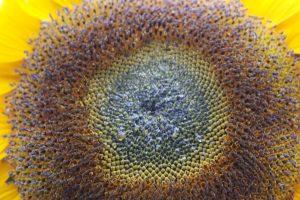 cordes sur ciel plantes médicinales bio tarn tournesol coeur