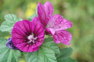 cordes sur ciel plantes médicinales bio tarn mauve