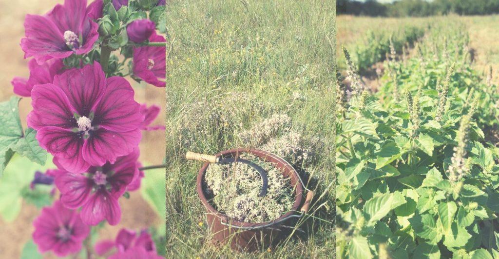 Plantes médicinales bio Tarn