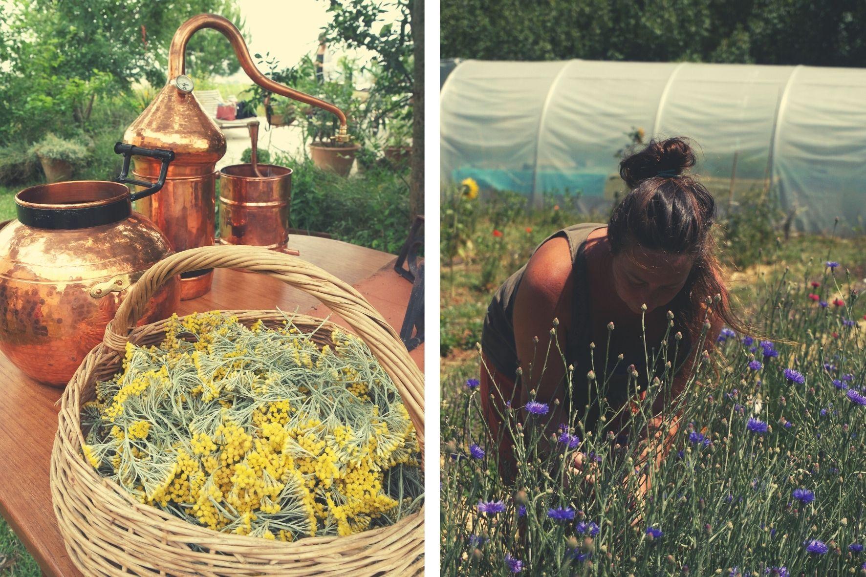 Adeline Mandirac stage plantes médicinales herboristerie distillation