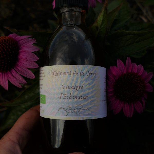 echinacée echinacea plante médicinale immunité