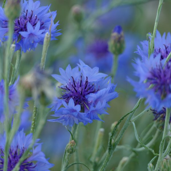 bleuets démaquillant naturel