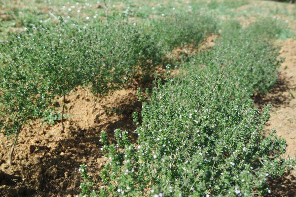 sarriette anti-infection plante médicinale hiver