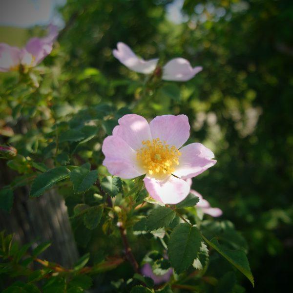 fleurs de bach bio sans alcool rose