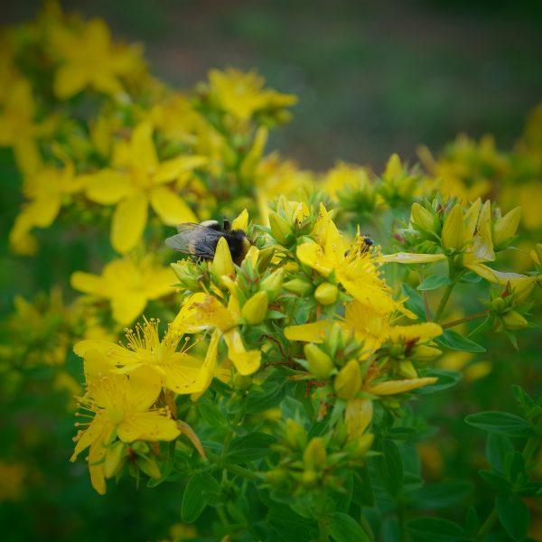 fleurs de Bach bio millepertuis